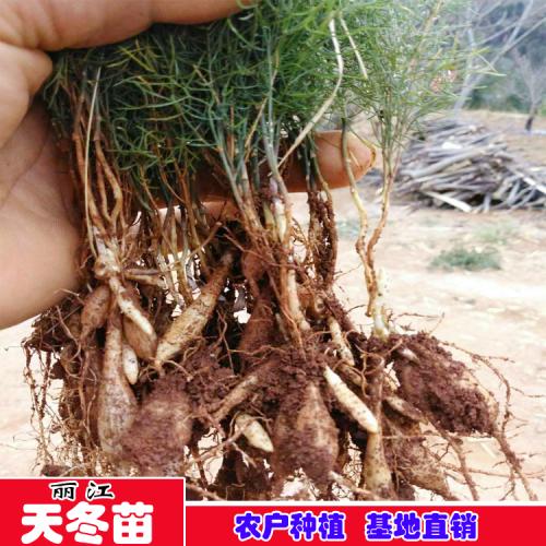 华坪县(中心镇)哪里有卖天冬苗