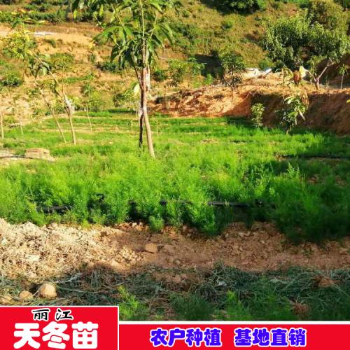 右江区哪里有卖天冬苗 天冬苗一斤多少钱
