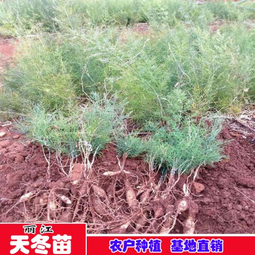 丽江大天冬种苗销售,云南大天门冬种子种苗批发