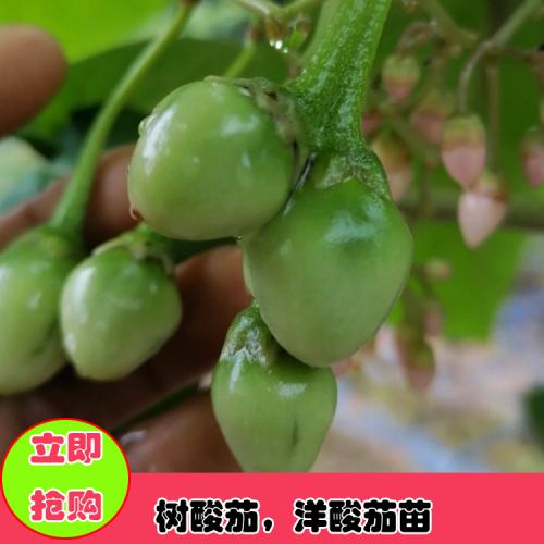 树酸茄 学名木本番茄,也叫洋酸茄