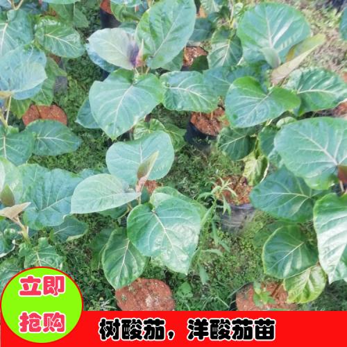 洋酸茄树图片 云南特有的树酸茄图片