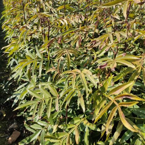 九叶青花椒30公分  楚雄花椒树苗多少钱一棵?