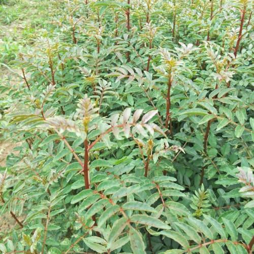 文山花椒苗多少钱一棵?适合文山地区种植花椒苗  一般一亩花椒苗栽多少棵?
