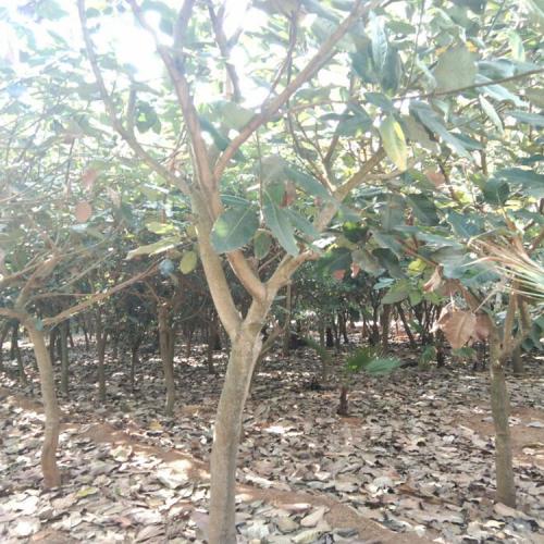 云南玉兰树的种植方法_师宗山玉兰树树价格