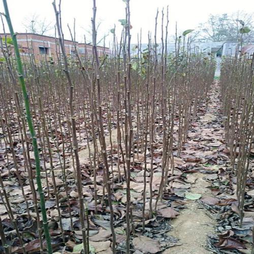 云南山玉兰树的种植时间和方法|玉兰的基本介绍
