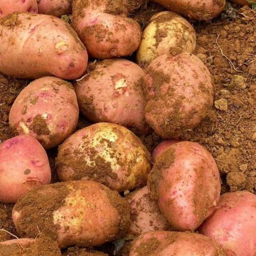 马铃薯的怎么施肥&施多少,用什么肥