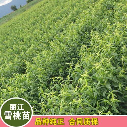 红河丽江雪桃种苗多少钱一棵?
