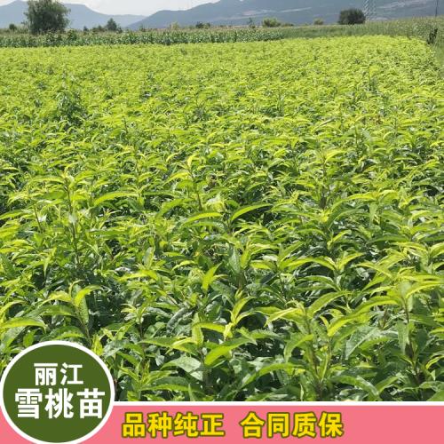 2020年大理丽江雪桃种苗多少钱一棵?