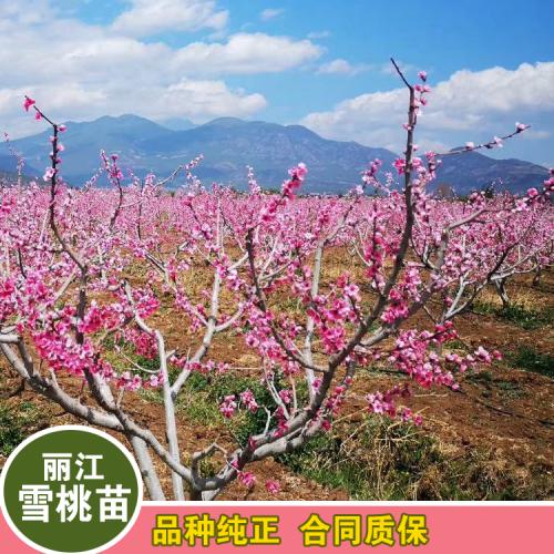 海拔1800-2800米丽江雪桃苗(附图)