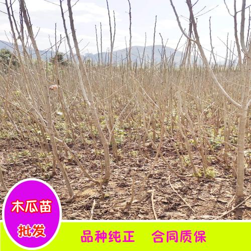 木瓜苗图片|大理、丽江木瓜苗繁育基地价格
