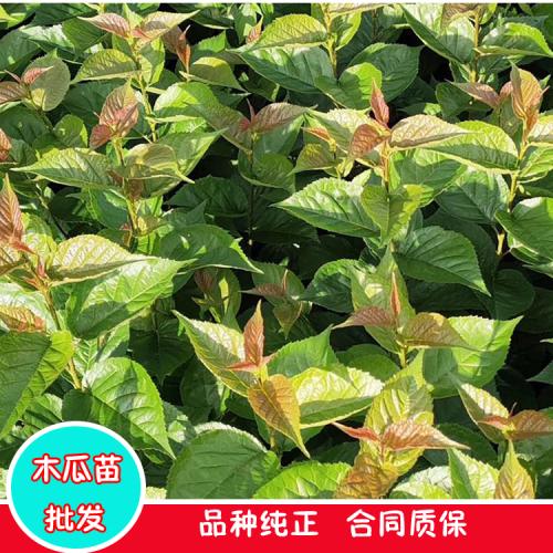 红河木瓜2公分木瓜树图片|木瓜树苗销售价格