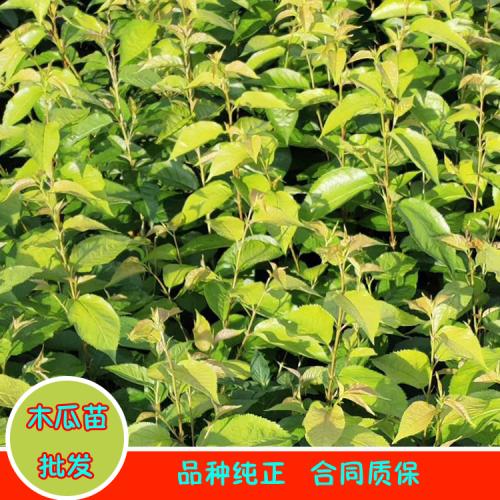 广西木瓜苗|河南皱皮木瓜|皱皮木瓜价格表