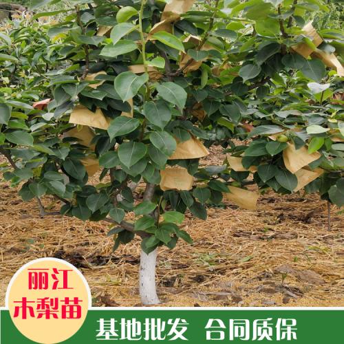 云南木梨苗|云南木梨的增产栽培技术|