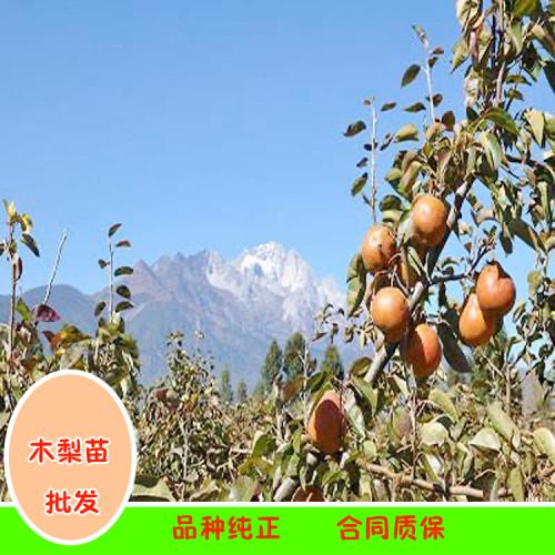云南木梨苗|丽江的木梨水果树苗基地(附图)