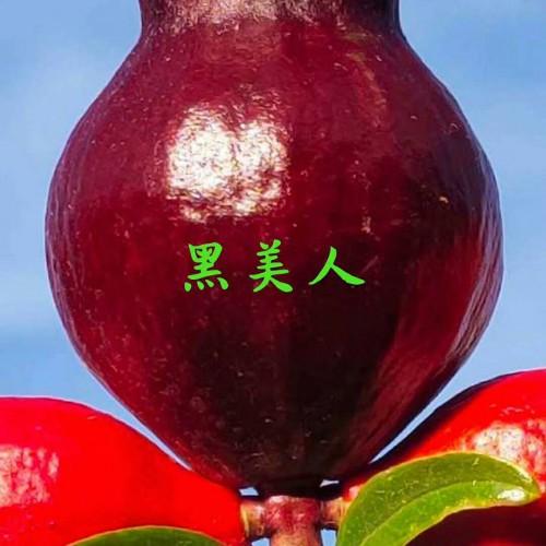 番石榴何时完善?籽能吃吗?有什么功效和功效?(附增产种植方法)
