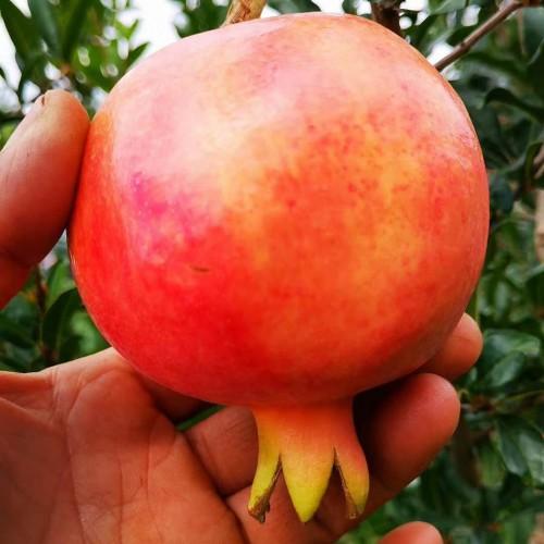又红又大的石榴何时完善发售?它的籽可以吃吗?吃籽有这几个作用与功效!