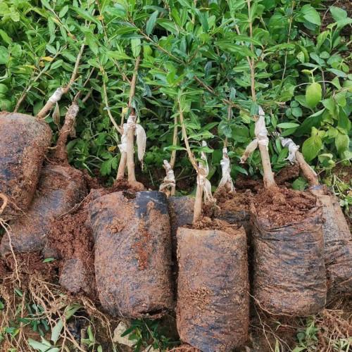 石榴果苗大概多少钱一棵?一般何时栽种好?