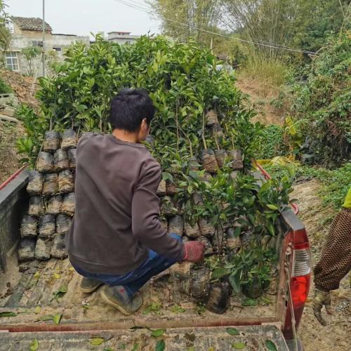 沃柑什么地方能够 栽种?栽种两年盛开?亩产量是多少Kg?附增产种植技术