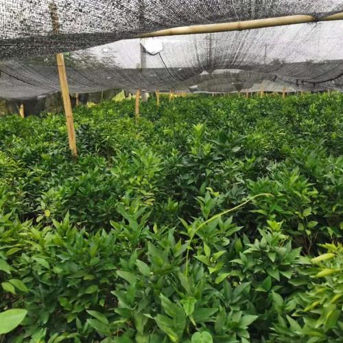 现阶段沃柑苗价钱要多少钱一株?什么地方能栽种?市场前景及经济收益怎样?种植技术有什么?
