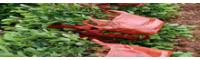 川滇桤木的别名叫什么_川滇桤木哪里有