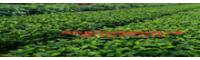 川滇桤木生长特点_川滇桤木栽培密度