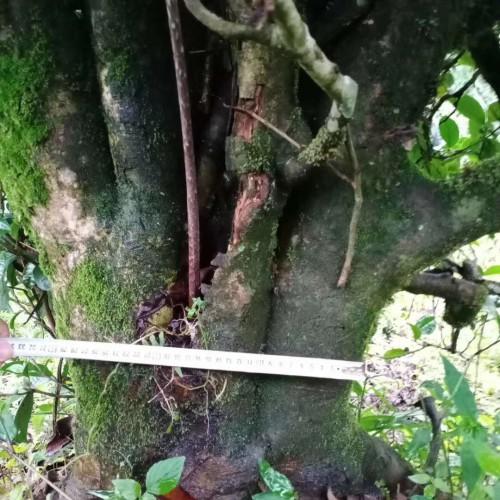 树龄100多年,地径20-30公分,冠幅3-6米 出售古茶树