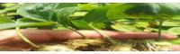 黄精分布区域_姜型黄精在那些地方可以种