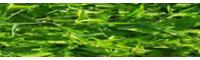 百部基地直销_种植技术_百部收购价钱是多少