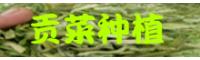 禄丰贡菜种植基地_贡菜哪里的好