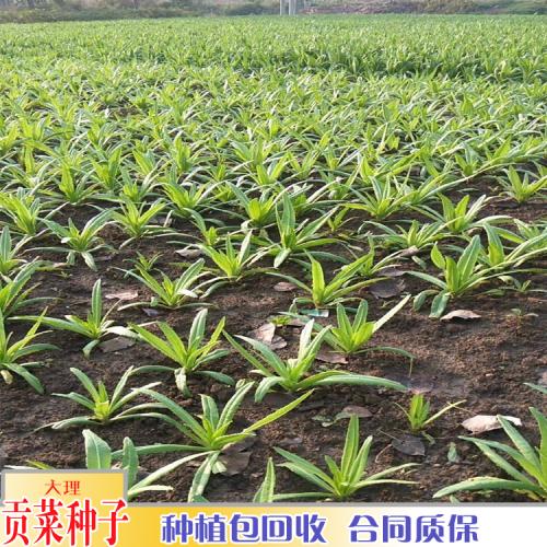 贡菜种植海拔要求_贡菜种植几月份收
