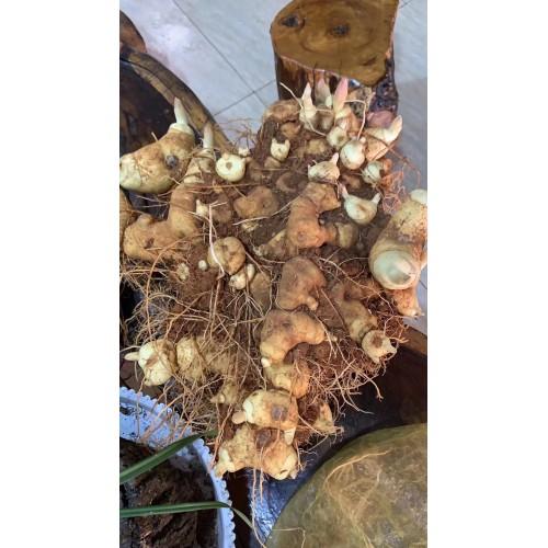 云南滇黄精苗,种子,成品图片