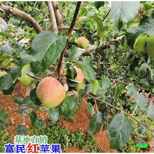 昆明苹果多少钱一斤?_昆明水果市场价格表