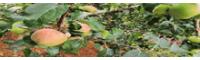 昆明苹果水果产业基地归纳_昆明苹果产业基地_水果批发市场