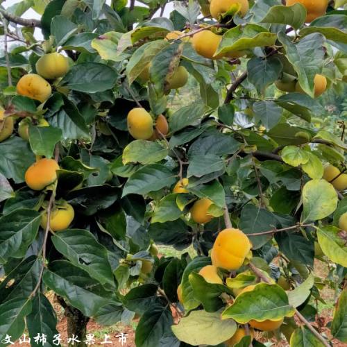 保山甜柿种植合作社_甜柿销售批发厂家