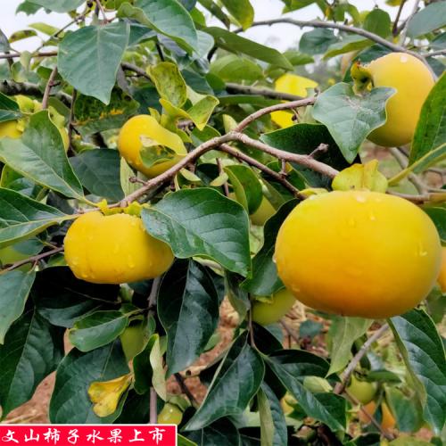 甜柿子种植基地_甜柿子种植前景