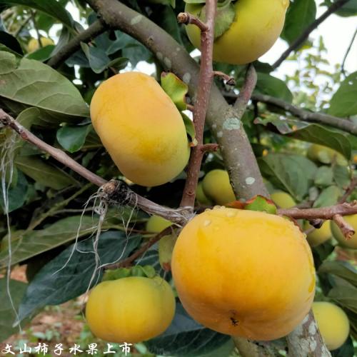普洱甜柿种植基地_甜柿价格行情走势