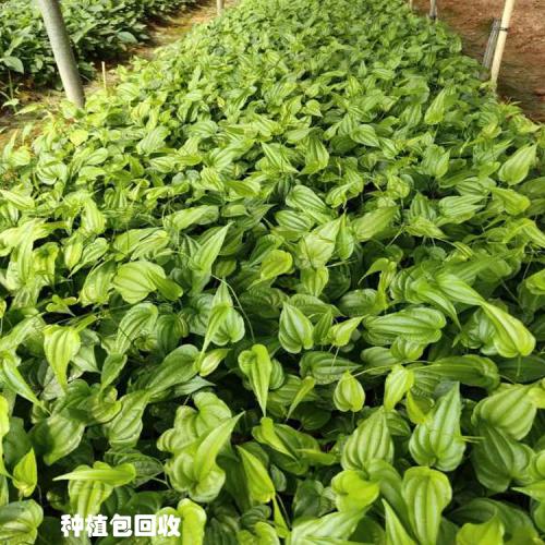 广西百部苗批发基地 百部苗种植包回收公司 新百部种植技术