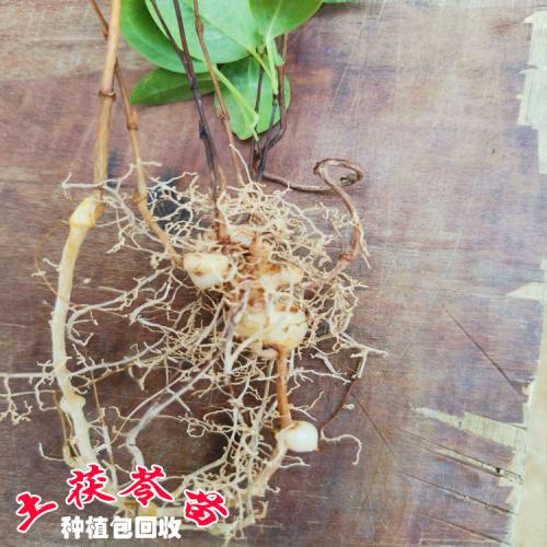 土茯苓种植技术 人工种植土茯苓亩产量 广西玉林药材收购表