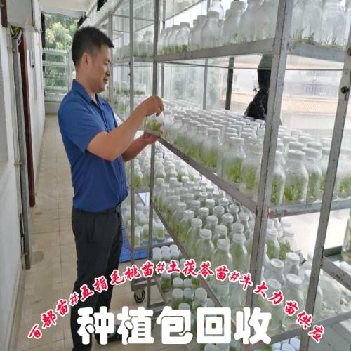 五指毛桃苗广西  广西桂林繁育基地价格表