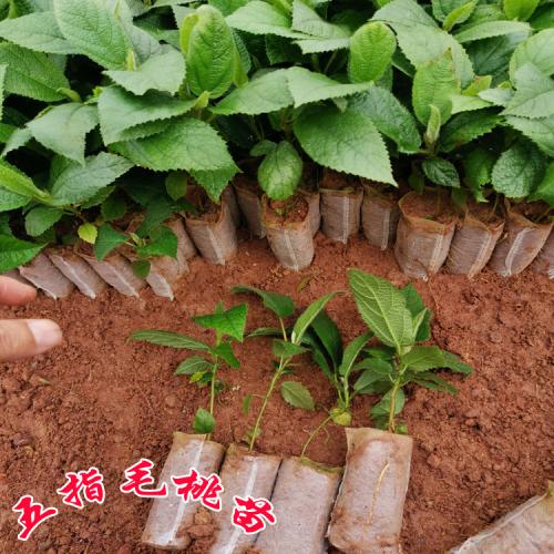五指毛桃苗广东阳江市价格 五指毛桃苗好种吗