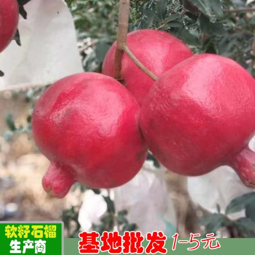 软籽石榴市场价格  江苏凉山周边软籽石榴批发