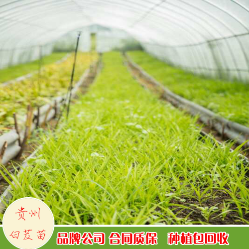 紫花白芨苗  安徽池州市紫花白芨苗供应价格