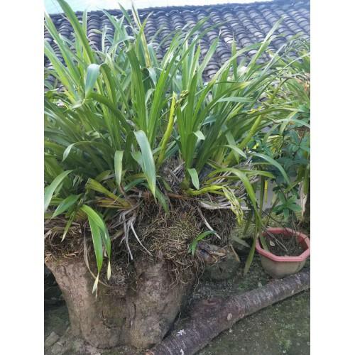 虎头兰-虎头兰价格-虎头兰用什么土栽培好