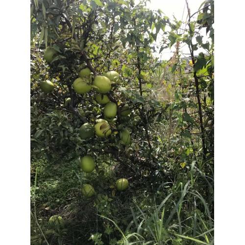 木瓜苗批发  木瓜有几种木瓜图片  云南酸木瓜苗出售