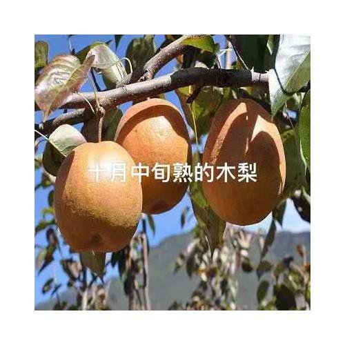 木梨苗 木梨苗价格 木梨苗图片