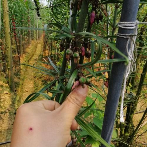 百万多花黄精籽栽培技术 黄精培养方法 黄精虫害控制