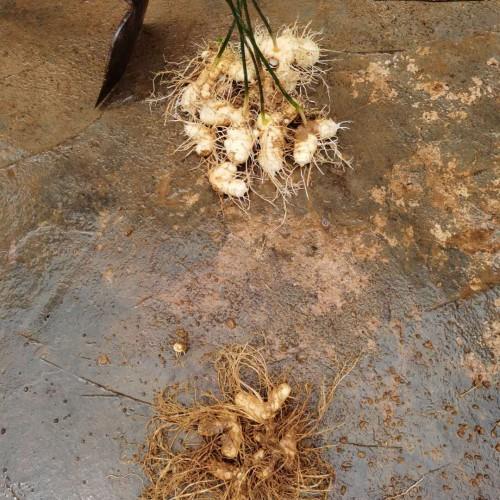 栽种一亩地的黄精必须资金投入的種子大约在300-400斤