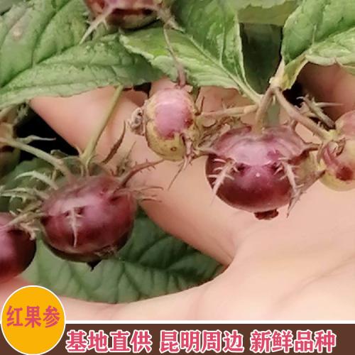 红果参 昆明红果参供应 云南西双版纳批发市场价格