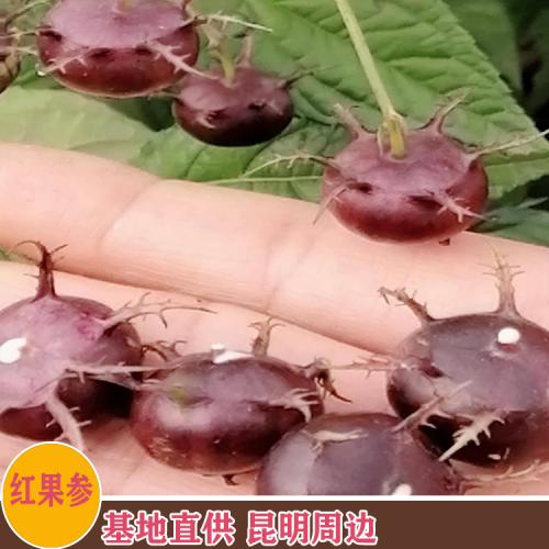 红果参种植基地 昆明杨林镇红果参基地批发
