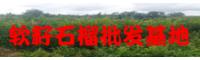 曲靖软籽石榴苗木价格_软籽石榴批发销售基地